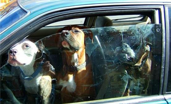 Собаки охраняют автомобиль
