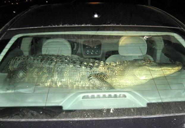 Крокодиловская сигнализация